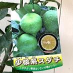 香酸柑橘 苗木 小核系スダチ(しょうかくけいすだち) 15cmポット苗 香酸柑橘苗