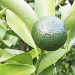 シークワーサー 13.5cmポット苗 【柑橘 苗木】果樹苗