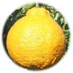 みかん 苗木 不知火(デコポン) 13.5cmポット苗 柑橘 苗木