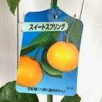 みかん 苗木 スイートスプリング 13.5cmポット苗 ミカン 苗 蜜柑
