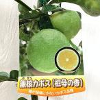 香酸柑橘 苗木 種なしカボス 15cmポット苗 祖母の香 無核カボス 香酸柑橘 苗