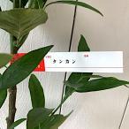 タンカン 苗木 たんかん 13.5cmポット苗 短桶 苗