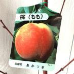 桃 苗木 あかつき 12cmポット苗 もも 苗 モモ