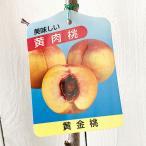 桃 苗木 黄金桃(おうごんとう) 12cmポット苗 もも苗
