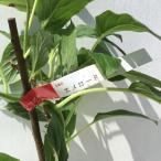 サルナシ 苗木 エメロード 12cmポット苗 さるなし 苗
