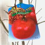 ザクロ 苗木 カリフォルニアザクロ 12cmポット苗 ざくろ 苗 柘榴