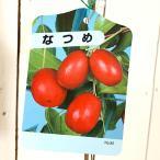 ナツメ 苗木 なつめ 12cmポット苗 ナツメ 苗 棗