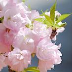 桜 苗木 旭山桜 12cmポット苗 あさひやまざくら さくら 苗 サクラ