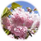 桜 苗木 牡丹桜 12cmポット苗