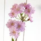 桜 苗木 平安枝垂を生産所から直送