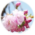 桜 苗木 糸括り 12cmポット苗 いとくくり さくら 苗 サクラ