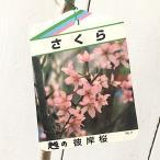 桜 苗木 越の彼岸 12cmポット苗 こしのひがん さくら 苗 サクラ
