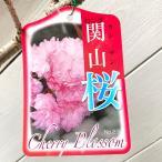 桜 苗木 関山 12cmポット苗 かんざん さくら 苗 サクラ