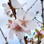 桜 苗木 三波川冬桜 12cmポット苗 さんばがわふゆざくら さくら 苗 サクラ