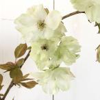 桜 苗木 鬱金桜 12cmポット苗 うこんざくら さくら 苗 サクラ