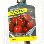 サクランボ 苗木 アメリカンチェリー 12cmポット苗 さくらんぼ 苗