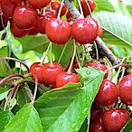サクランボ 苗木 紅さやか 13.5cmポット苗 さくらんぼ 苗