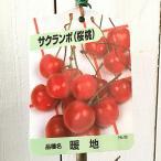 サクランボ 苗木 暖地桜桃 12cmポット苗 だんちおうとう さくらんぼ 苗