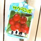 サクランボ 苗木 香夏錦 12cmポット苗 こうかにしき さくらんぼ 苗