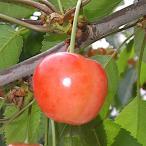 サクランボ 苗木 さおり 13.5cmポット苗 さくらんぼ 苗