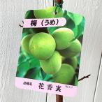 ショッピング苗 梅 苗木 花香実(はなかみ) 12cmポット苗 うめ苗