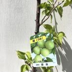 ショッピング苗 梅 苗木 八重豊後(やえぶんご) 12cmポット苗 うめ苗