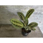 マランタ レウコネウラ Maranta leuconeura 4 号鉢【岐阜農場から出荷します】