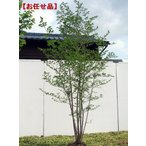 エゴノキ 株立 樹高2.0m以上(根鉢含まず)