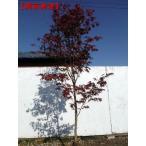 現品発送 ノムラモミジ 樹高2.3-2.5m(根鉢含まず)