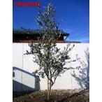 【送料無料】【選べる品種】オリーブの苗 樹高1.0m前後(根鉢含まず)