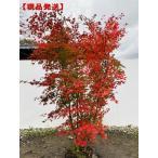 現品発送 イロハモミジ 株立 樹高2.3m(根鉢含まず)