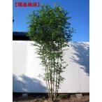 現品発送  シマトネリコ 樹高2.5m-2.7m(根鉢含まず) 株立 [大型商品・配達日時指定不可]