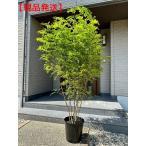 現品発送  シマトネリコ 樹高2.0m-2.3m(根鉢含まず) 株立 [大型商品・配達日時指定不可]