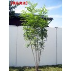 現品発送 シマトネリコ 樹高2.0-2.4m(根鉢含まず)