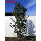 [現品発送]ソヨゴ 樹高2.1-2.4m(根鉢含まず)