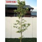 クラウドナイン [ハナミズキ] 樹高2.0m(根鉢含まず)