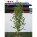 ヒメシャラ (姫夏椿)株立 樹高2.0m以上(根鉢含まず)