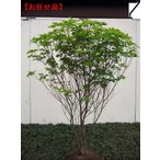 アカヤシオ(ヤシオツツジ)樹高1.5m(根鉢含まず)
