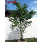 イロハモミジ 株立 樹高2.0m(根鉢含まず)