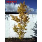 現品発送 モミジ ビホウ(美峰) 樹高1.7-2.0m(根鉢含まず)