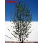 エゴノキ 株立 樹高2.5m以上(根鉢含まず)