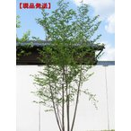 現品発送 エゴノキ 株立 樹高2.2-2.3m(根鉢含まず)
