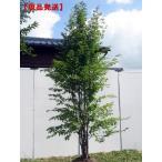 [現品発送]ヒメシャラ(姫夏椿) 株立 樹高2.2-2.6m(根鉢含まず)