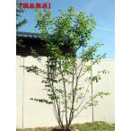 現品発送 ジューンベリー 株立 樹高2.3m-2.6m(根鉢含まず)