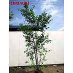 現品発送 ジューンベリー 株立 樹高2.4m-2.8m(根鉢含まず)
