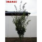 現品発送 イロハモミジ 株立 樹高2.5m-2.6m(根鉢含まず)