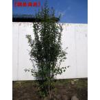 現品発送 ハイノキ(灰の木) 樹高1.6-1.8m(根鉢含まず)