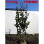 [送料無料]ソヨゴ 株立 樹高1.5m以上(根鉢含まず)