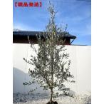 現品発送 オリーブの木(ルッカ) 樹高2.3m-2.5m(根鉢含まず)