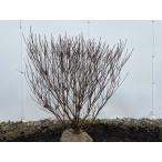 シロヤシオ(ゴヨウツツジ) 樹高0.8m(根鉢含まず)